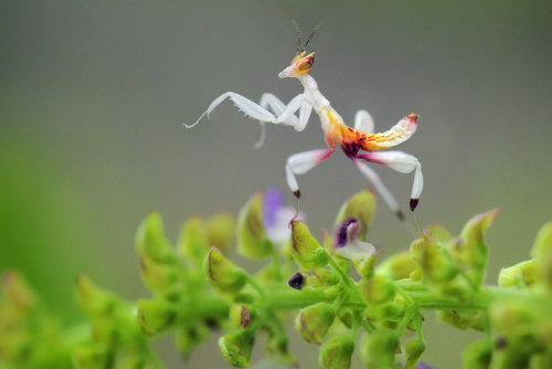 animals-animals-animals:  Orchid Mantis (by SAMLIM)