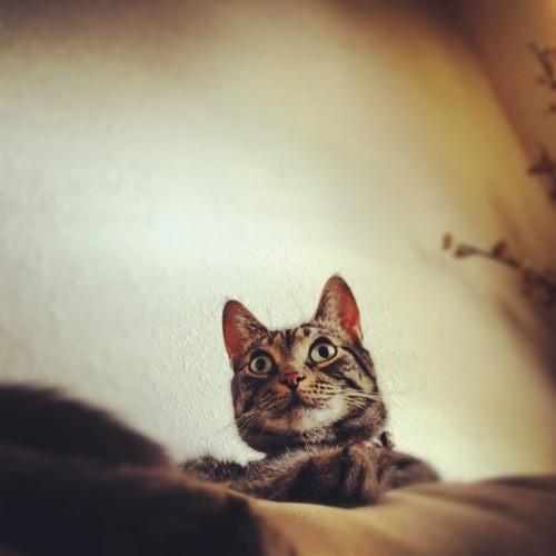 Mr. Bright Eyes #cats #pets (Taken with Instagram)