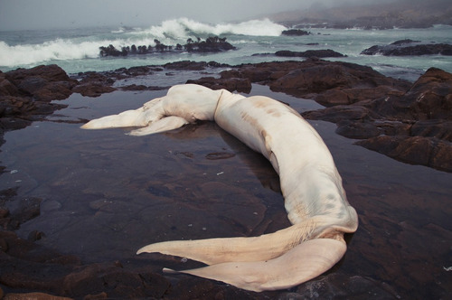 avdunstar:  Decomposing carcass of a blue whale (Balaenoptera musculus), 2010.