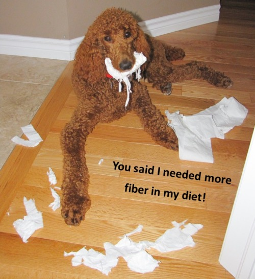 dogshaming:  Sadie got into the toilet paper (again)