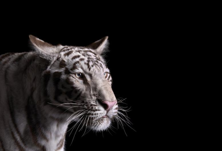 White Tiger Affinity photo gallery by Brad Wilson