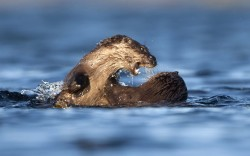 Two European river otters fight in the waters off the Isle of Mull, Scotland. The brothers first indulged in a spot of aquatic wrestling in an apparent attempt to dunk one another. Things got more heated when one lucky otter managed to get their paws on a fishy treat. As he tried to swallow the morsel down the other appeared to do its best to steal it clean from out of his moth.Picture: Danny Green/2020VISION / Rex Featrues