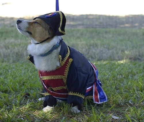 corgiaddict:  It's ZIGGY!!! As Napoleon Bone-apart.