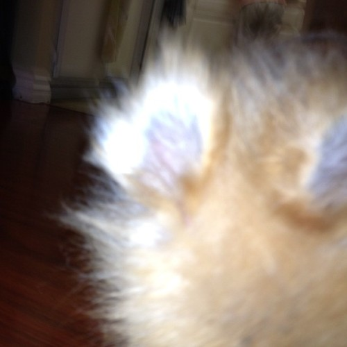Lol! Attempted to take a picture of my dog, but he moved. Dog ears ✌ #momo #pomeranian #teddybearpom #teddybear #pom #pomlove #pet #dog #pet #cute #bunnyears  (Taken with Instagram)