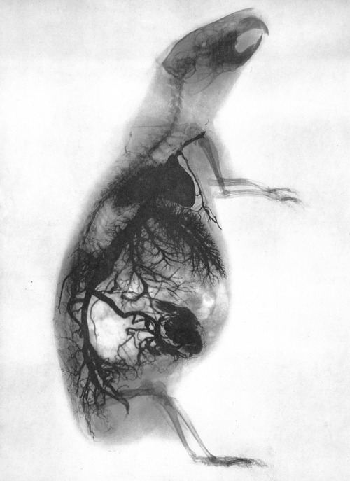 X-Ray of Guinea pig Photographer: Gaston Contremoulins, Paris 1896.