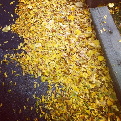 Disaster Leaves 🍂 #instamood #instaphoto #instashot #instamoment #instagood #iphoto #iphone4 #personal #instago #fall #autumn #leaves #trees #branches #colourful #ground #driveway #wood #carpet #nature #pretty #beauty #instagramer #outside #outdoors  (Taken with Instagram)
