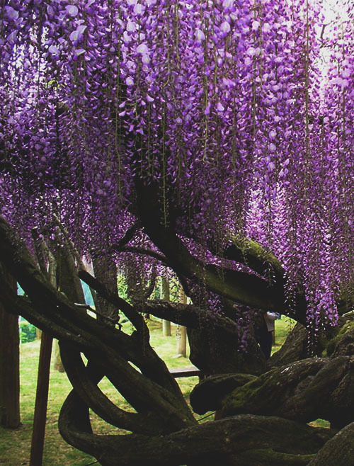 margaritabloom:  Fairytale ❤   Purple Japanese Weeping Cherry Tree