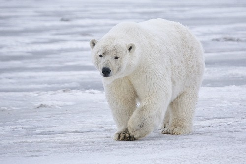 Polar Bears Take a Big Step Towards International ProtectionThis week, the United States – backed by the support of the Russian Federation – proposed listing the polar bear on Appendix I of the Convention on International Trade in Endangered Species (CITES).  If approved by the international community this March, the proposal would ban the cross-border commercial trade in polar bear parts.  Read more.Photo: rubyblossom via flickr