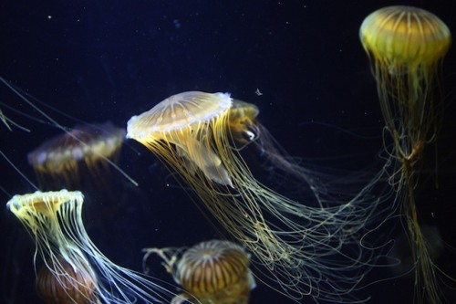 rhamphotheca:    Results of a Warming Ocean:  Jellyfish Swarms by John Bowermeister Just like last summer, swarms of jellyfish are showing up along the coast of Spain, and recently a thousand swimmers off Malaga were sent running for first aid after having been stung. A dry winter followed by a warm spring and hot summer is to blame, say marine biologists with the oceanographic agency Aula del Mar. To protect the beach economy, teams of collectors, armed with baskets, have been sent out to sea to collect jellyfish before they can be swept onto the beach. In one day off Malaga, 1,700 pounds of jellyfish were caught and brought to land to be destroyed. (read more: TakePart.com)          (image: Gabriel Bouys/Getty Images)