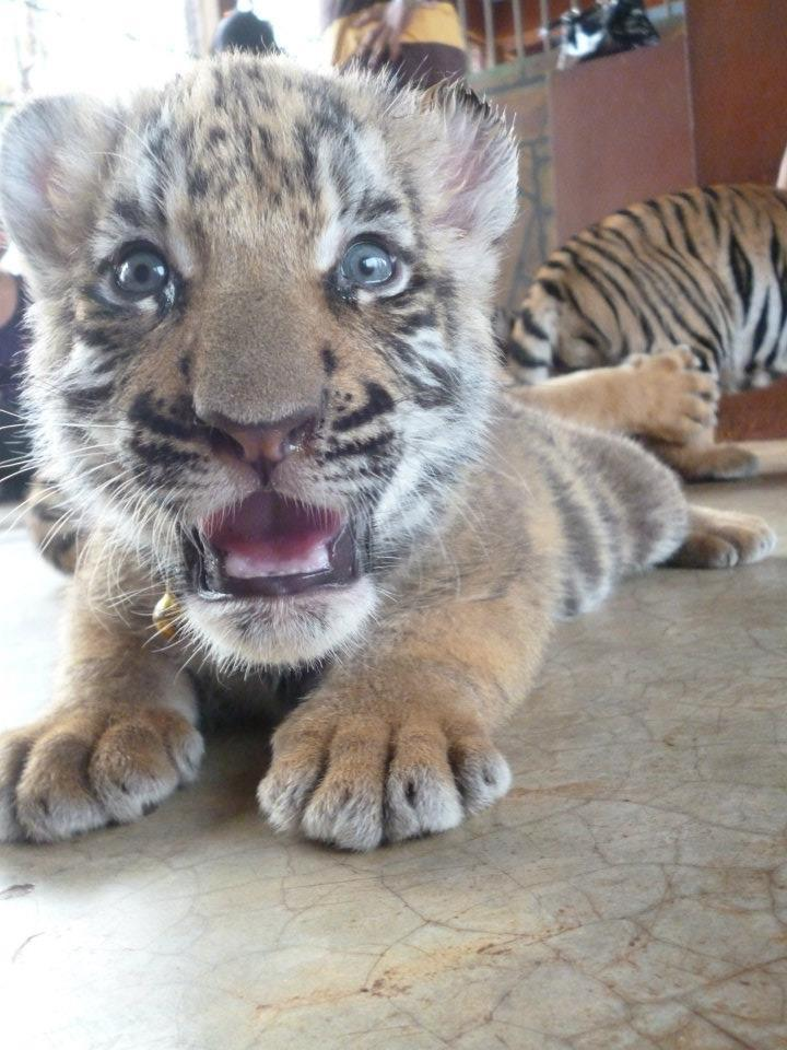 hakunadaisy:  c-0conut-kids:  the 4 week year old tiger i saw in thailand <3 don't change the source.  so cute!