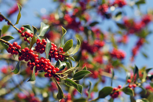 Holly berries on Flickr. Another from last autumn. Earlier this year I had some photos selected for the Getty Images Flickr Collection, and this image was one of them. It was a lovely little ego boost, but with only 9 images selected I knew I'd be very lucky to make a sale. The best chance of adding more images and hence improving my odds was also taken away when the usual method for submitting images for consideration was closed shortly after. No other photos have been selected by other methods since. Of course one look at the Flickr Collection on Getty tells me I don't really shoot stock-style images. Getty Images Wants (https://twitter.com/GettyImagesWant) just confirms this further. So I guess this summer I had a choice (and the chance) to try and shoot more stock-worthy photos. Instead I went out and did the exact opposite. Black and white, not particularly stylised, few people, etc. All the things one look at the Flickr collection tells you they don't want. But I had a great time and I love this summer's photos more than any others I have taken. So I guess I came to the conclusion (albeit sub-consciously) that I am far happier taking the kind of photos I enjoy, than chasing a few (and it would have been a few) bucks trying to shoot what other people want. One look at the private Getty groups on Flickr and it's easy to see the irrational panic and paranoia that exists within their members as they chase 'picks' (photos selected to the collection). It's all a bit desperate as egos are inflated and deflated by every decision Getty makes. I wonder whether the joy of photography has died within many of their members, at least until they get the 'cheque through the post'.