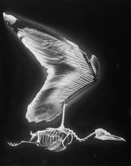 sarahannabell:  Skeletal structure of a bird, 1951. by Andreas Feininger