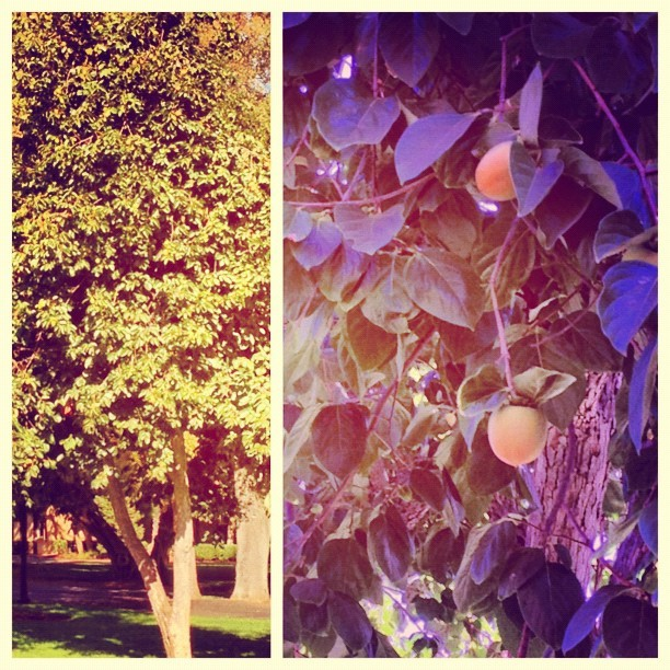 Persimmon tree on campus (Taken with Instagram at Canfield Court)