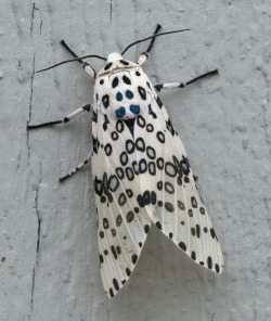 ritajardon:  Giant leopard moth or Eyed tiger moth (por nikkorsnapper)