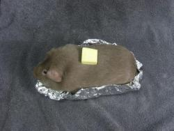 a guinea pig pretending to be a baked potato