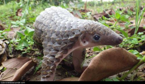 cute-overdose:  Rescued baby Pangolin. Cutest armoured critter.more cute here