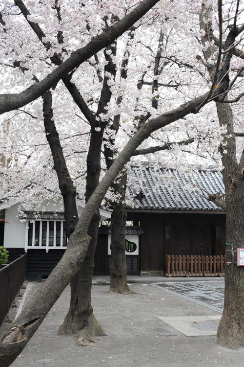 ethertune:  cherry blossom @ some temple (By kam kah zen)  Beautiful.