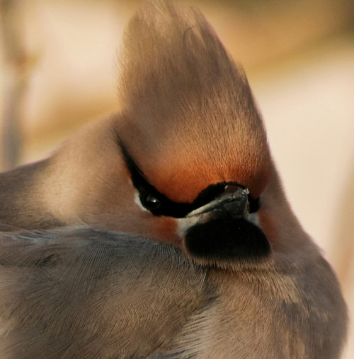 fat-birds:  Bohemian Waxwing & Энхэт Бялзуухай by eojbayara on Flickr. The name is Waxwing. Mr. Waxwing.