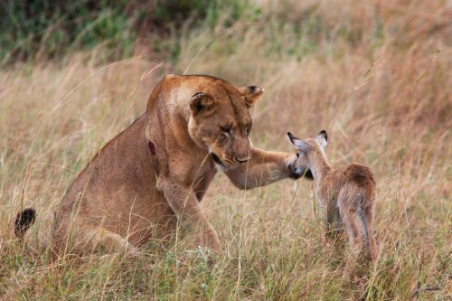 A lioness befriends an orphaned antelope after killing its mother. Amazing story!
