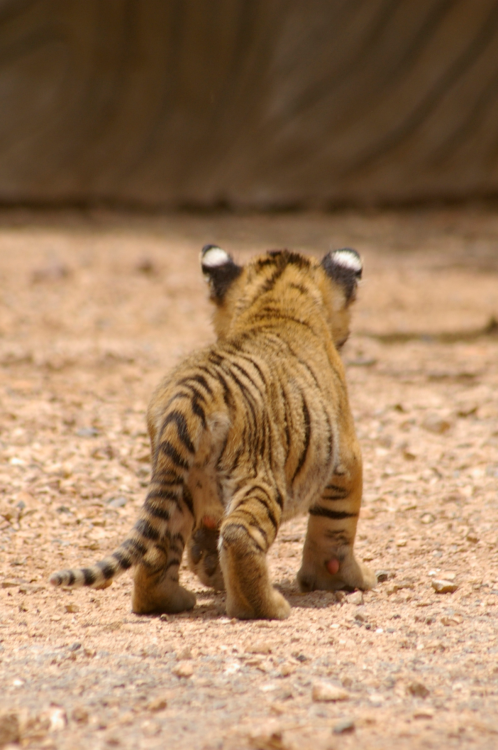 may-13th:  its a baby tiger )))))))))):