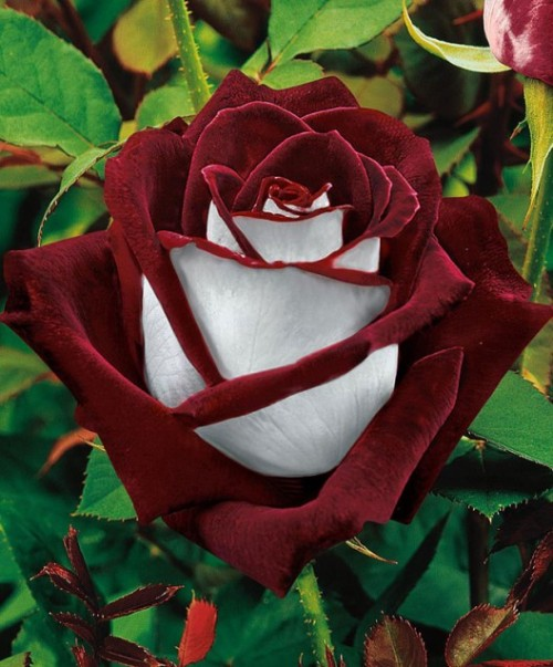Osiria Rose has a lovely two color combination of blood-red petals on the inside and silvery white on the outside