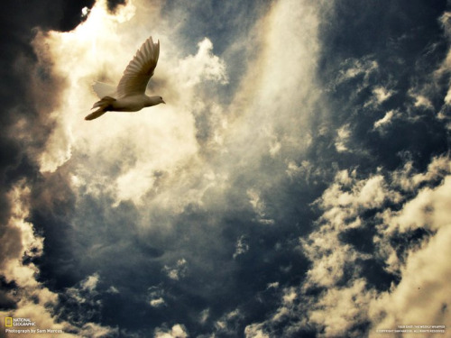 White doves flight to freedom Sam MarcusNational geographic