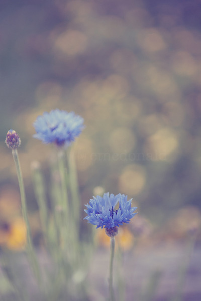 Cornflower in the West Virginia Mountains.