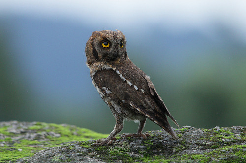 "morgondagg: ""Scops owl"" by Namgun Lee"