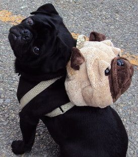 mugsofpugs:  Everything was pugfect and nothing hurt.