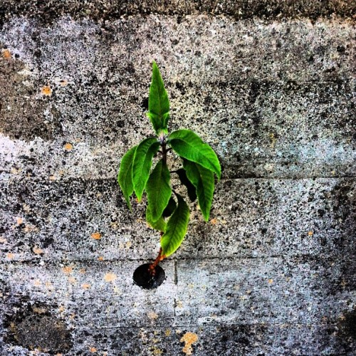 Life finds a way.  (Taken with Instagram at Hearst Castle)