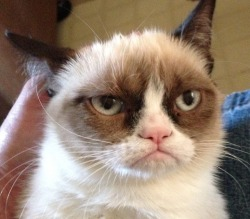 tardthegrumpycat:  The photo that made Grumpy Cat famous!