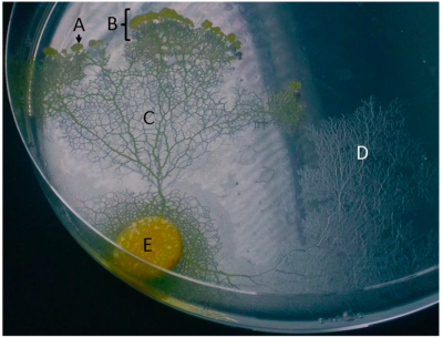 "joshbyard:  Brainless Slime Molds Shed Light On The Evolution of Memory  ""We have shown for the first time that a single-celled organism with no brain uses an external spatial memory to navigate through a complex environment,"" said Christopher Reid from the University's School of Biological Sciences. …""Results from insect studies, for example ants leaving pheromone trails, have already challenged the assumption that navigation requires learning or a sophisticated spatial awareness. We've now gone one better and shown that even an organism without a nervous system can navigate a complex environment, with the help of externalized memory."" The research method was inspired by robots designed to respond only to feedback from their immediate environment to navigate obstacles and avoid becoming trapped. This ""reactive navigation"" method allows robots to navigate without a programmed map or the ability to build one and slime molds use the same process. When it is foraging, the slime mold avoids areas that it has already ""slimed,"" suggesting it can sense extracellular slime upon contact and will recognize and avoid areas it has already explored. …""We then upped the ante for the slime molds by challenging them with the U-shaped trap problem to test their navigational ability in a more complex situation than foraging. We found that, as we had predicted, its success was greatly dependent on being able to apply its external spatial memory to navigate its way out of the trap.""  (via Brainless slime mold uses external spatial 'memory' to navigate complex environments 