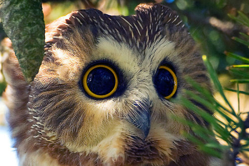 sayoneword: Bright Eyes, a Northern Saw-whet Owl by Ted Busby via Redbubble