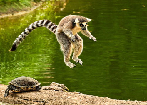 magicalnaturetour:  Leapfrog~ Picture: Cindy Bendush/solentnews.co.uk via The Telegraph :)