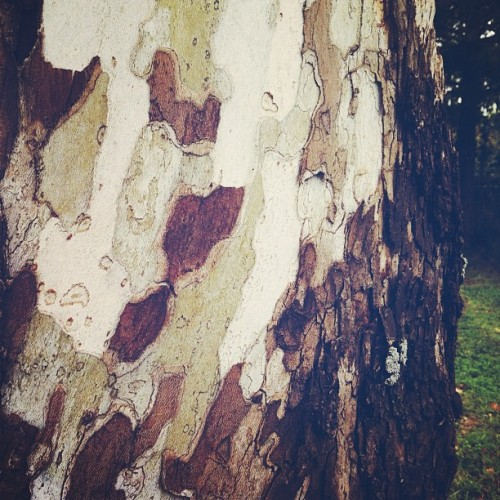 I bet #camouflage took #inspiration  from this #tree  trunk. #beautiful #nature #trees #thisbeautifulplanet #fall (Taken with Instagram)