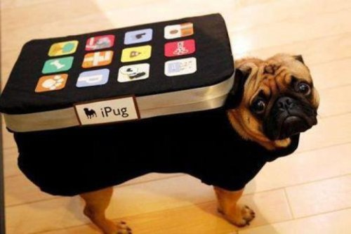 collegehumor:  iPug First the baked pugtato, now the iPug, what's next, my DIGNITY?!