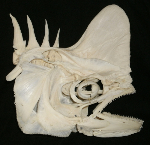 terrell: DolphinFish Skull (Coryphaena hippurus) (photo by JC-Osteo)