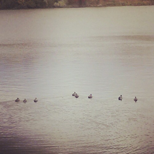 Ducks of a feather… #ducks #swimming #lake (Taken with Instagram)