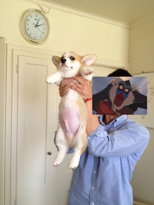 corgis-everywhere:  coopthecorg:  Cooper wanted to reenact a scene from Lion King. Follow @ coopthecorg.tumblr.com  this looks real is this from the director's cut