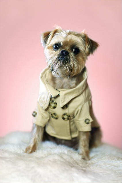 Inspector Griffon, AKA Suki. Suki's dad is a photographer and had this coat custom made for Suki via Etsy. http://raymondhaddadphotography.com/