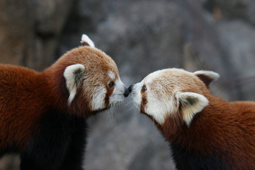 v1gilante:  Panda kiss by TomFlikrPhotos on Flickr.