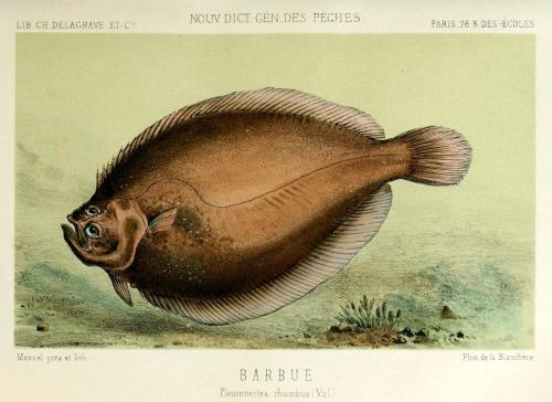 "biomedicalephemera:  Pleuronectes rhumbus [now Scophthalmus rhombus] - The Brill Like most flatfish, the brill has both eyes on the same side of its head, and it lives on the sea floor, with those eyes being the only exposed part of its body, allowing for effective ambush hunting, and hiding from predators. Did you know that flatfish (the brill, flounder, sole, and their relatives) are actually born looking pretty normal? They have gas bladders for buoyancy, eyes on either side of the head, and are very non-flat. It's only as they mature that they become the odd-eyed, floor-dwelling, pancakes of fish that we know. Which makes me wonder…what the hell was ""Flounder"" in The Little Mermaid? Even as larval specimens, flatfish aren't nearly that, er, rotund… La Pèche et les Poissons; nouveau dictionnaire général des pêches. Henri de la Blanchère, 1868."