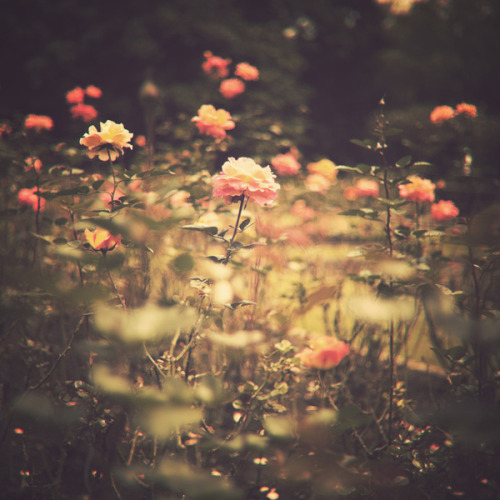 allthatiknewwaslove:  One Rose in a Magic Garden (Vintage Flower Photography) by Andreka Photography