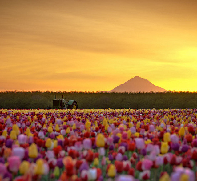 forbiddenforrest:  Deere in the Tulip Fields by Deej6 on Flickr.