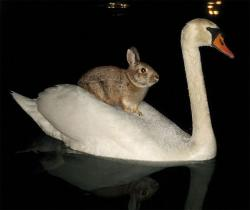 animals-riding-animals:  rabbit riding swan