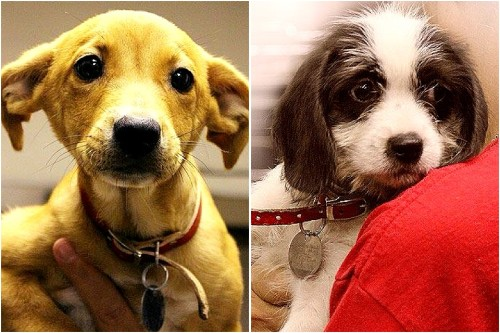 Looking to add a new puppy to your family? Consider adopting.  In the NY area, the North Shore Animal League has several adorable puppies looking for a forever home. Meet Mercedes (on the left, ADOPTION # 0912C) and Nocha (on the right, ADOPTION # 0912E). Two sweet female puppies. For more information, visit http://www.animalleague.org/.