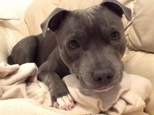 therealpitbull:  Mia, being cute as always.