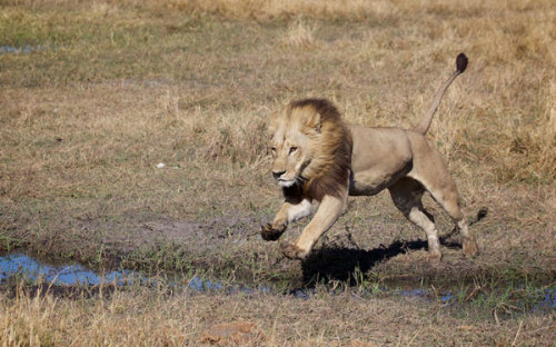 animalaspects:  If it looks like a male lion and is perceived as a male lion—well, sometimes it isn't. That's the case of Africa's unusual maned lionesses, which sport a male's luxurious locks and may even fool competitors. Though uncommon, maned lionesses have been regularly sighted in the Momba area of Botswana's Okavango Delta (including the individual pictured below), where the lion population may carry a genetic disposition toward the phenomenon, according to Luke Hunter, president of the big-cat conservation group Panthera, which collaborates with National Geographic's Big Cats Initiative. (The Society owns National Geographic News.) (Click pic to continue.)