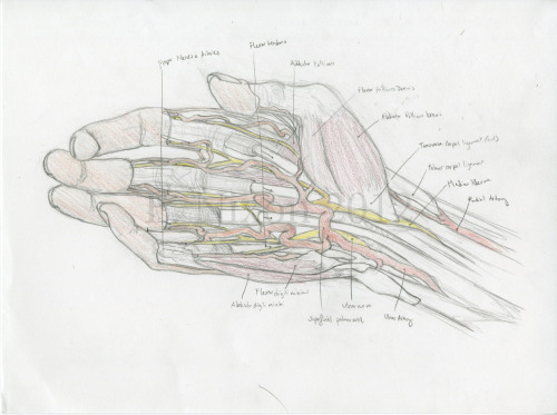 cryptobranchus:  Palmar Hand Dissection. Graphite and colored pencil