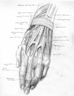 cryptobranchus:  Dorsal Hand Dissection, with extensor expansion of 3rd digit. Graphite